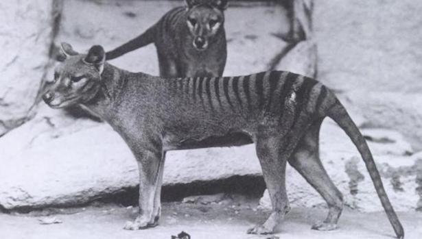 thylacinus-kdpb-620x349abc